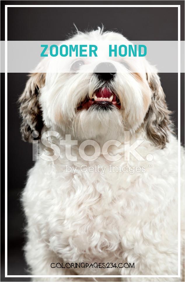 Cmzeuf 71712 Bbo8gypetluwnhbpu Zoomer Hond Witte Boomer Hond Op Donker Grijze Stockfoto S Free 962634