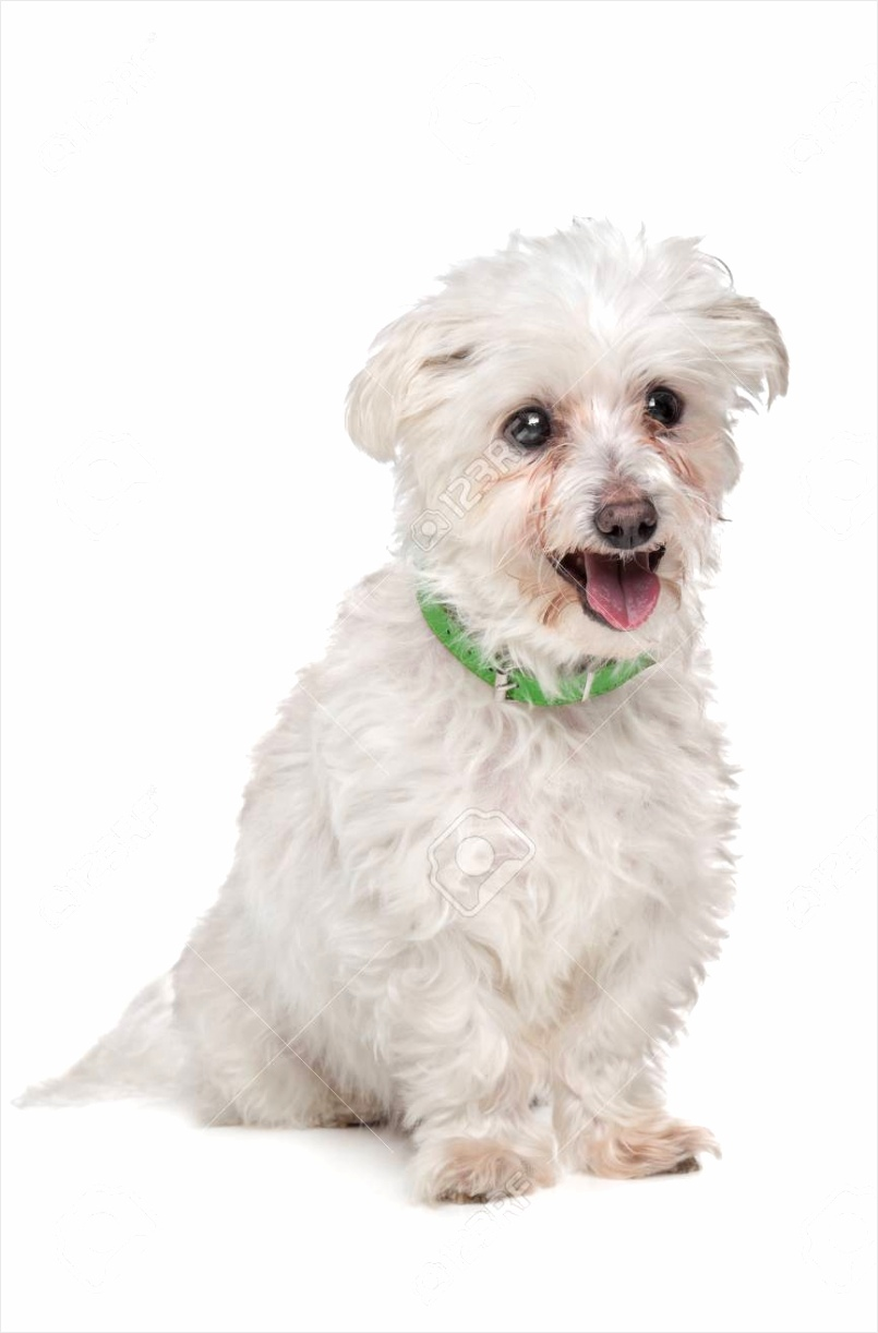 photo mixed breed boomer dog in front of a white background etvwz