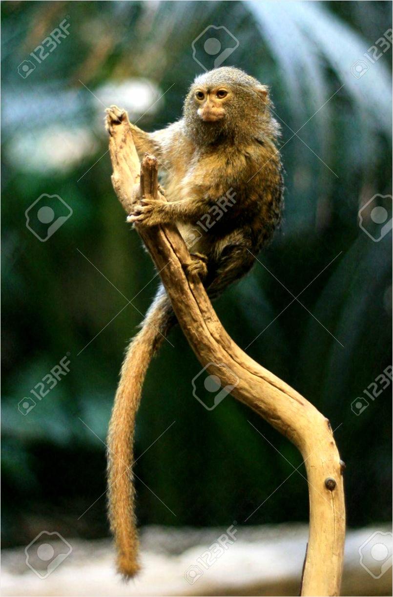 photo pygmy marmoset monkey wiyur